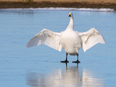 Bewick's swan (Cygnus columbiana bewickii) flapping its wings as it stands on a frozen marshland pool, Gloucestershire, UK, February.