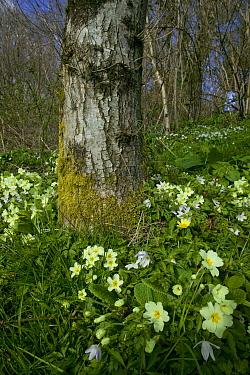 Primroses (Primula vulgaris) Celandines and Wood Anemone, woodland scene in April, Wales, UK
