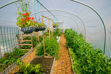Interior of polytunnel on former football pitch - Vetch field - now a community allotment, Swansea West Glamorgan, Wales, UK, June 2006. Editorial use only