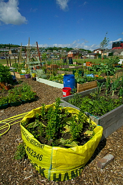Raised bed made out of sacking, on former football pitch - Vetch field -  now a community allotment, Swansea West Glamorgan, Wales, UK, June 2006. Editorial use only