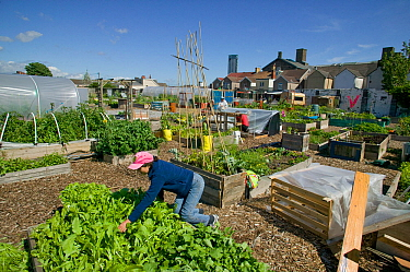 Community member cultivating lettuce and harvesting raised bed  on former football pitch - Vetch field -  now community allotment, Swansea West Glamorgan, Wales, UK, June 2006. Editorial use only