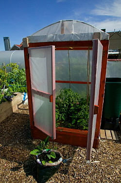 Cultivating tomatoes in plastic 'house' in shadow of tallest building in Wales on former football pitch - Vetch field -  now a community allotment, Swansea West Glamorgan, Wales, UK, June 2006. Editor...