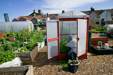 Cultivating tomatoes in plastic 'house', in shadow of tallest building in Wales, on former football pitch - Vetch field - now a community allotment, Swansea West Glamorgan, Wales, UK, June 2006. Edito...