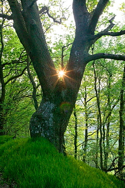 Sessile oak (Quercus petraea) tree with sunlight behind, ancient semi natural woodland in Gilfach Nature Reserve, Radnorshire Wildlife Trust, Powys, Wales, UK May