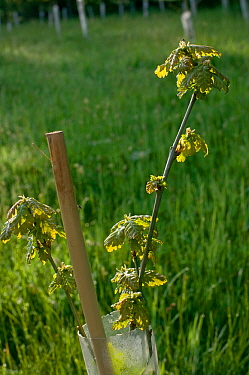 Sessile Oak (Quercus Petraea) tree saplings planted in plastic tubes by conservation volunteers to increase the size of oak woodland in Gilfach farm Nature Reserve, Radnorshire Wildlife Trust, Powys,...