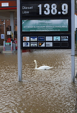Mute swan (Cygnus olor) swimming in flooded petrol station during February 2014 floods, Upton upon Severn, Worcestershire, England, UK, 8th February 2014.