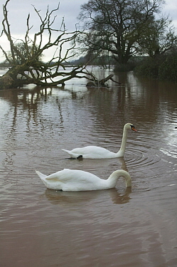 Mute Swan (Cygnus olor) pair in flooded agricultural land adjacent to River Severn, 10th February 2014.