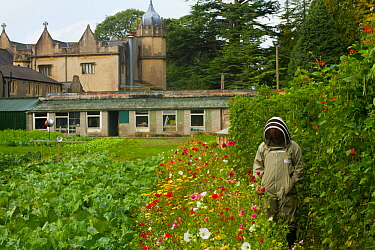 Member of Gwent beekeepers in protective suit in garden with runner beans (Phaseolus coccineus) with line of wildflowers along side to attract bees, Llantarnam Abbey Cwmbran, Gwent, Wales, UK. Septemb...