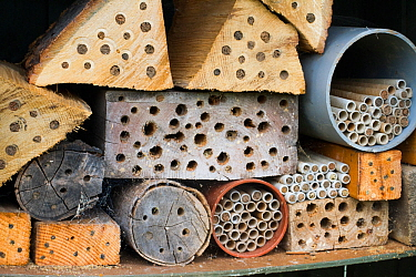 Nest sites for solitary bees, drilled into logs, Chepstow, Wales, UK August.