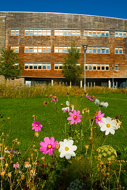 White and pink cosmos flowers planted to help bee conservation outside Wales Environment Centre, Bangor University, Bangor Gwynedd North Wales, UK. September 2014.
