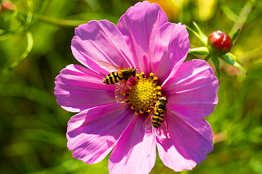 Male and female Hoverflies (Syphrus) on Pink Cosmos flower, sownto attract bees and other insects. Outside Wales Environment Centre, Bangor, Gwynedd, North Wales