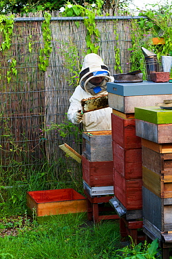 Beekeeper looking after honey bees (Apis mellifera) in allotments, Cwmbran, Gwent, Wales, UK. August 2014.