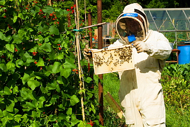 Beekeeper looking at honeybees (Apis melifera) on frame in allotments with Runner Beans  (Phaseolus coccineus) Cwmbran, Gwent, Wales, UK. August 2014.