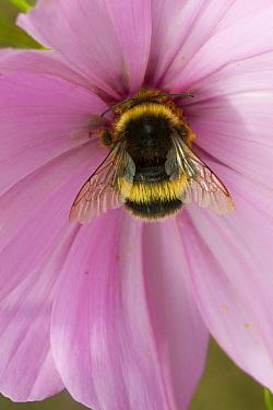 Bumblebee (Bombus) on Cosmos flower,Felin Uchaf, Aberdaron, Gwynedd, North Wales, UK. August.