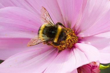 Bumblebee (Bombus) on Cosmos flower, Felin Uchaf, Aberdaron, Gwynedd, North Wales, UK. August.