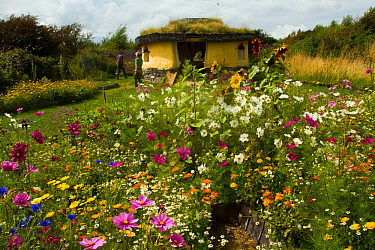 Colourful flowers including Cosmos, Sunflowers and Marigolds, surrounding Iron Age roundhouse to benefit bees. Felin Uchaf, Aberdaron, Gwynedd, North Wales, UK. August 2014.