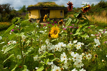 Colourful flowers including Sunflowers and White Cosmos flowers,  surrounding Iron Age roundhouse to benefit bees. Felin Uchaf, Aberdaron, Gwynedd, North Wales, UK. August 2014.