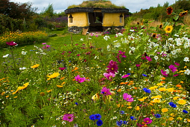 Colourful flowers including Sunflowers, Cornflowers and Marigolds surrounding Iron Age roundhouse to benefit bees. Felin Uchaf, Aberdaron, Gwynedd, North Wales, UK. August.