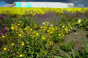 Mixture of flowering plants including evening primrose (Oenothera biennis) planted to attract bees in formerly derelict land surrounding Olympic stadium. Queen Elizabeth Olympic Park, Stratford, Londo...
