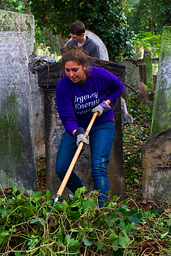 Friends of Tower Hamlets Cemetery Community Conservation volunteers carrying out conservation work to clear ivy from graveyard, and planting flowers as nectar food plants for bees. Bow, London, Englan...