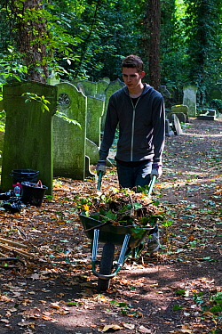Friends of Tower Hamlets Cemetery Community Conservation volunteer carrying out conservation work to clear ivy from graveyard, and planting flowers as nectar food plants for bees. Bow, London, England...