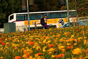 Woman looking at flowers, including Marigolds (Calendula officinalis) sown to attract wild bee species grown on roundabout / underpass of Motorway, M32, in inner city Bristol, Avon, UK, September.