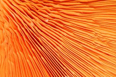 Chanterelle mushroom (Cantharellus cibarius), gill detail.