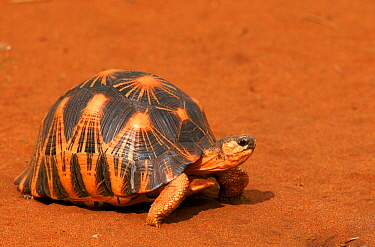 Radiated tortoise (Astrochelys radiata) walking, Berenty Private Reserve, Madagascar.