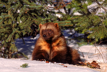 Wolverine (Gulo gulo) on snow, captive.