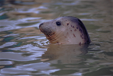 Grey seal juvenile in water (Halichoerus grypus), head portrait, captive. Seal Sanctuary, Cornwall, England.