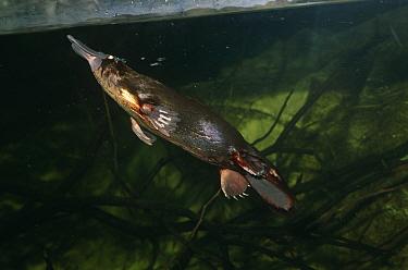 Platypus (Ornithorhynchus anatinus) swimming underwater. Sydney Aquarium, Australia.