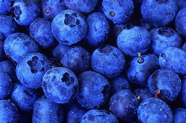 Blueberries (Vaccinium sp), Wisconsin, USA.
