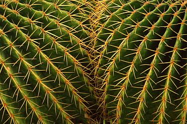 Golden barrel cactus close-up (Echinocactus grusonil).
