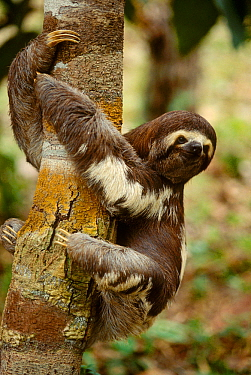 Pale throated sloth (Bradypus tridactylus) clinging to tree. Manaus, Brazil.