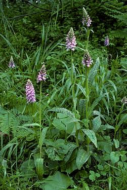 Common spotted orchids (Dactylorhiza fuchsii). Surrey, UK.