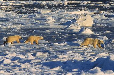 Polar bear cubs following mother (Ursus maritimus). Hudson Bay, Canada.