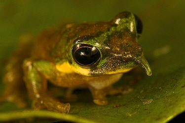 Long-nosed Tree Frog (Litoria pinocchio). New species discovered by Paul Oliver at 1200 m elevation in the Foja Mountains. Foja Mountains, Papua, Indonesia, 2008. (taken during Conservation Internatio...