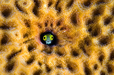Secretary blenny (Acanthemblemaria maria) peering from hole in massive Starlet coral (Siderastrea siderea). East End, Grand Cayman, Cayman Islands, British West Indies, Caribbean Sea.