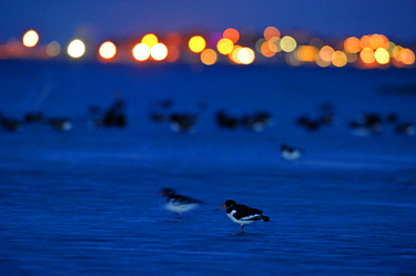 Oystercatcher (Haematopus ostralegus) at dusk, with lights in distance, South Swale, Kent, England, UK, December. 2020VISION Book Plate. (This image may be licensed either as rights managed or royalty...