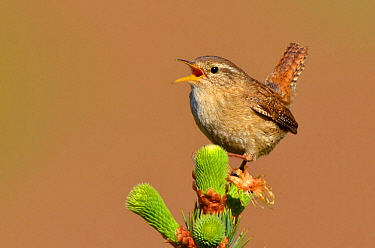 Wren (Troglodytes troglodytes) singing with tail cocked from new pine growth. Wales, May. Did you know? The wren is the UK's most common bird with over 8 million breeding pairs.