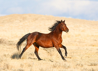 Wild Mustang bay running. Great Divide Basin, Wyoming, USA.