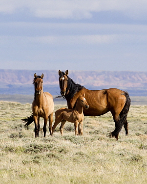 Wild Mustang horses, mare, juvenile and foal. Great Divide Basin, Wyoming, USA.