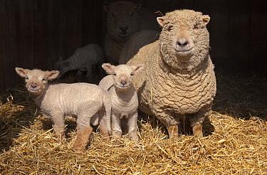 Domestic sheep, ewe and lambs in pen, UK.