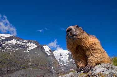 Alpine marmot (Marmota marmota), with Mount Grossglockner (3798m) in background, Hohe Tauern National Park, Austria. July.