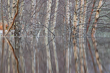 Woodland reflections in the floodwaters of the River Spey, Scotland, December.