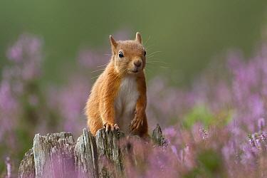 Red Squirrel (Sciurus vulgaris) portrait on stump in flowering heather. Inshriach Forest, Scotland, September.