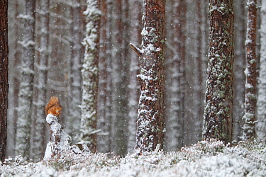 Red Squirrel (Sciurus vulgaris) in snowy pine forest. Glenfeshie, Scotland, January.