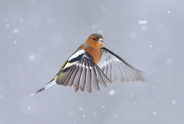 Chaffinch (Fringilla coelebs) male in flight in snow. Glenfeshie, Scotland, February.