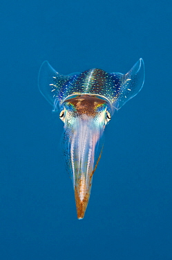Caribbean reef squid (Sepioteuthis sepioidea), North Wall, Grand Cayman, Cayman Islands, West Indies, Caribbean Sea.