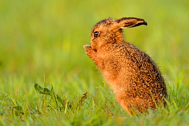 European hare (Lepus europaeus) leveret cleaning, UK, May.